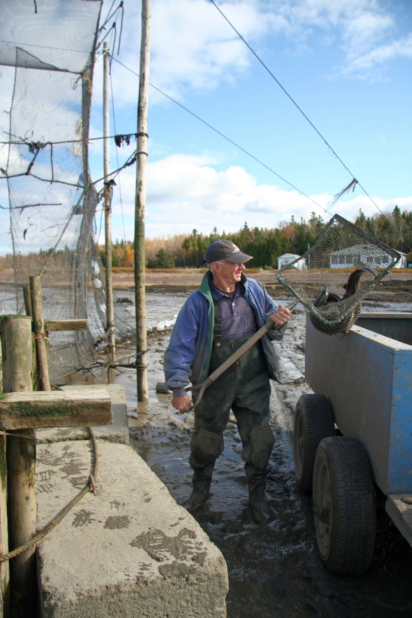 A man, standing between a trailer and an eel weir, holds a net mounted on a wooden frame with a long handle. Two or three eels are in the net, which is called a saillebarde.