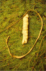 Colour photo of bait made in artisanal fashion using a bone to hold the hook in place. The leather strip is tied to the end of the hook. The fishhook is set against a backdrop of fir branches.