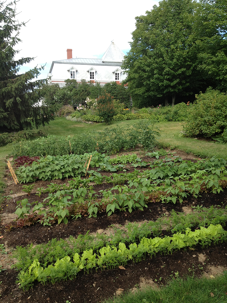 Colour photograph of rows of vegetables in a garden, with a house in the background.
