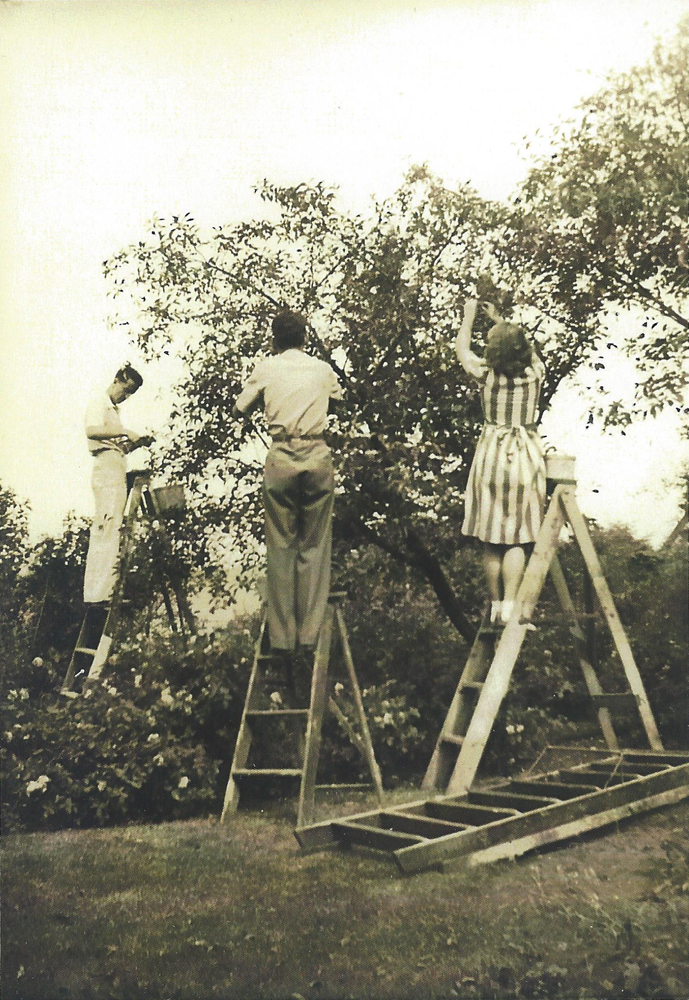 Black-and-white photograph of two young men and a young woman on step-ladders picking cherries from a tree.