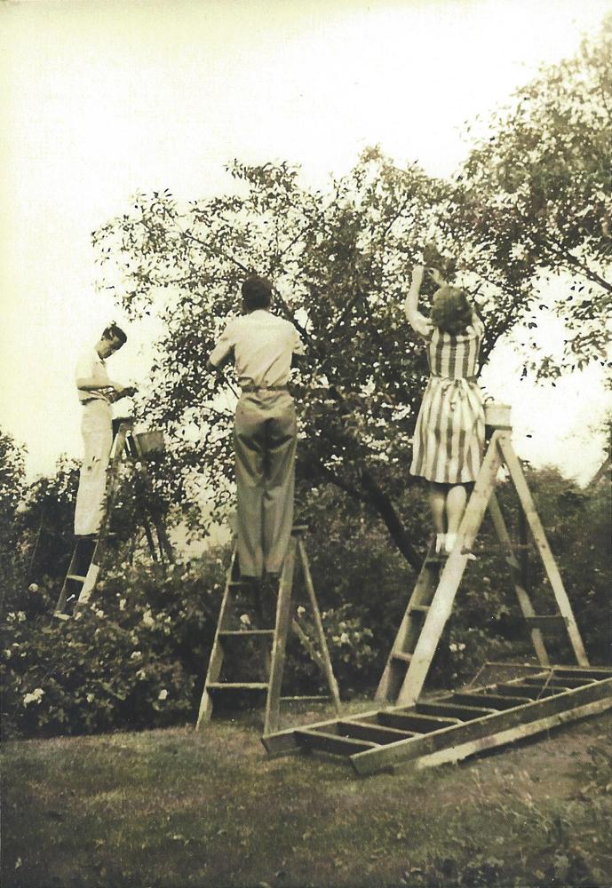Photo noir et blanc. Trois personnes, deux jeunes hommes et une jeune femme font la cueillette de cerises perchés sur des escabeaux.