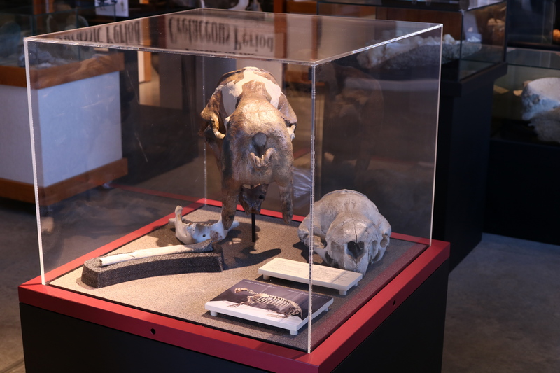 Cast of walrus skull and bones inside glass museum display case.