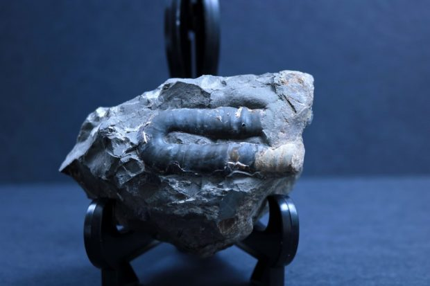 A fragment of an ammonite shell that is shaped like a sideways 'U'.
