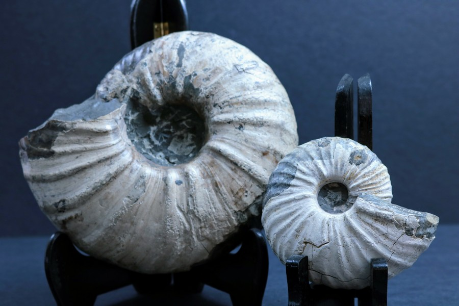 Two ammonites with white shells, held up on stands. The smaller of the two is held up in the foreground.