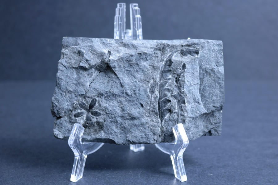 A piece of stone held upright by a plastic stand, with a fossilized flower and leaf imprinted on the surface.