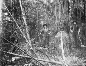 A black and white photograph of William Henry Vanetta and another man standing on planks that are protruding from the sides of a large tree. Both of the men have a hand resting on the handle of a double edged axe. There is a long whipsaw leaning on the front of the tree.