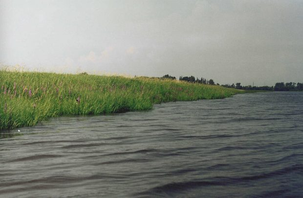 Colour photograph of a shoreline covered in tall green grass along the Des Prairies River.