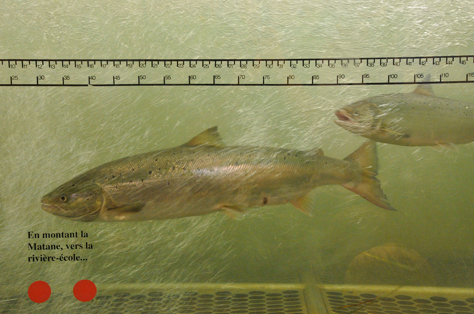 Colour photograph of two salmon passing in front of the observation window of the Matane fish ladder.