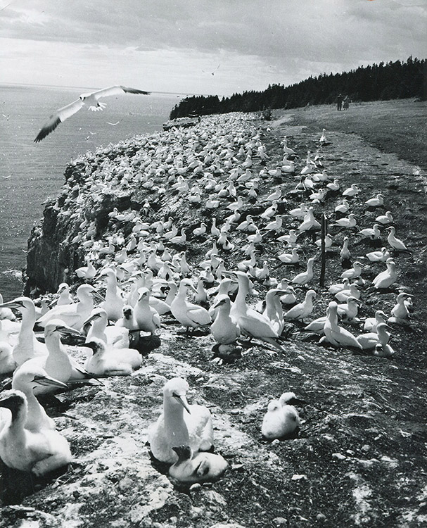 Black and white photograph of the gannet population and their chicks. More than a thousand birds occupy the cliffside of Bonaventure Island.