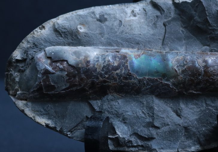 Baculite specimen in an oval-shaped piece of matrix, displaying colourful iridescence in its shell